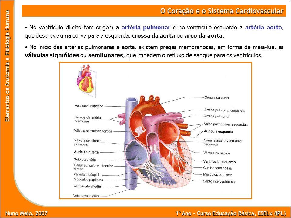 Nuno Melo, 2007 1º Ano - Curso Educação Básica, ESELx (IPL) Elementos de Anatomia e Fisiologia Humana O Cora ç ão e o Sistema Cardiovascular No ventrí
