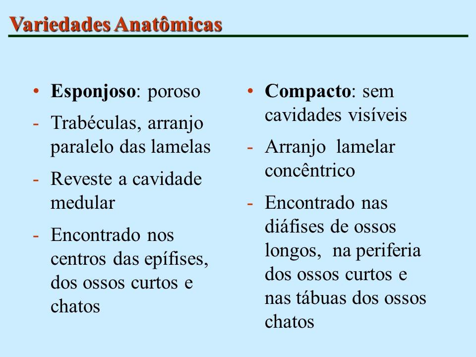Variedades Anatômicas Esponjoso: poroso -Trabéculas, arranjo paralelo das lamelas -Reveste a cavidade medular -Encontrado nos centros das epífises, do