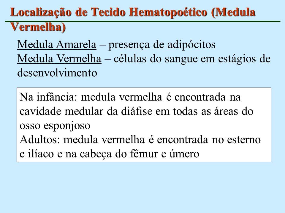 Localização de Tecido Hematopoético (Medula Vermelha) Na infância: medula vermelha é encontrada na cavidade medular da diáfise em todas as áreas do os