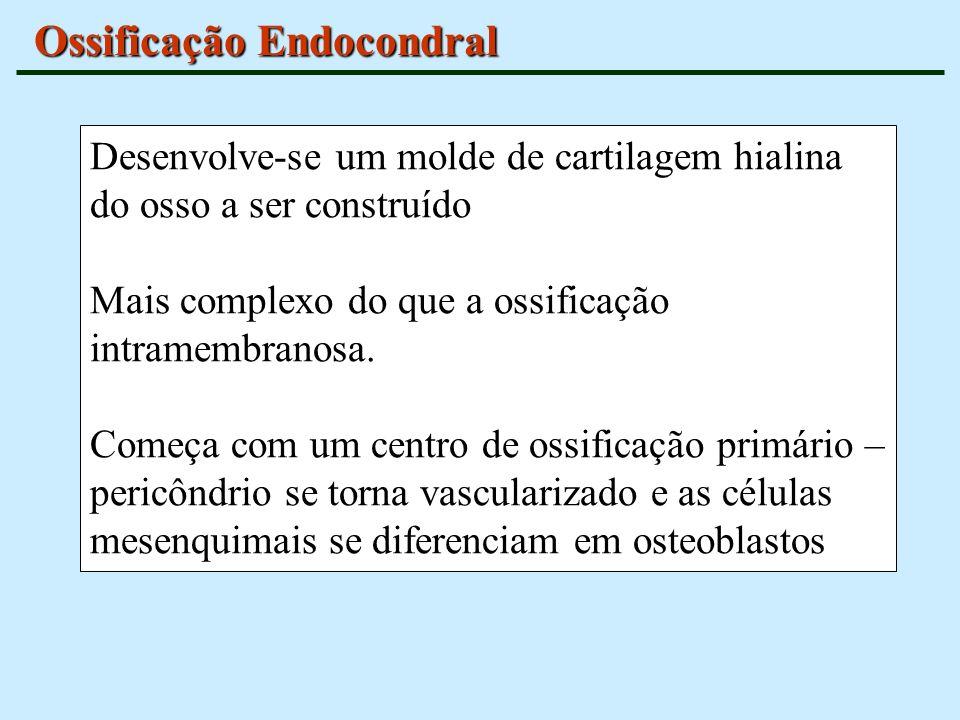 Ossificação Endocondral Desenvolve-se um molde de cartilagem hialina do osso a ser construído Mais complexo do que a ossificação intramembranosa. Come