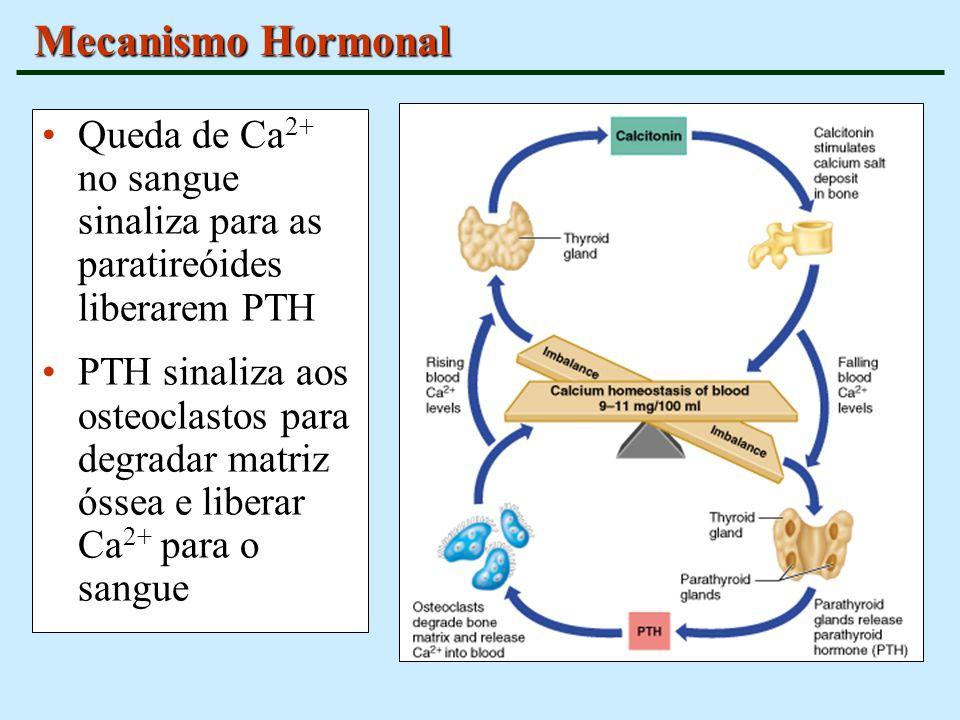 Mecanismo Hormonal Queda de Ca 2+ no sangue sinaliza para as paratireóides liberarem PTH PTH sinaliza aos osteoclastos para degradar matriz óssea e li