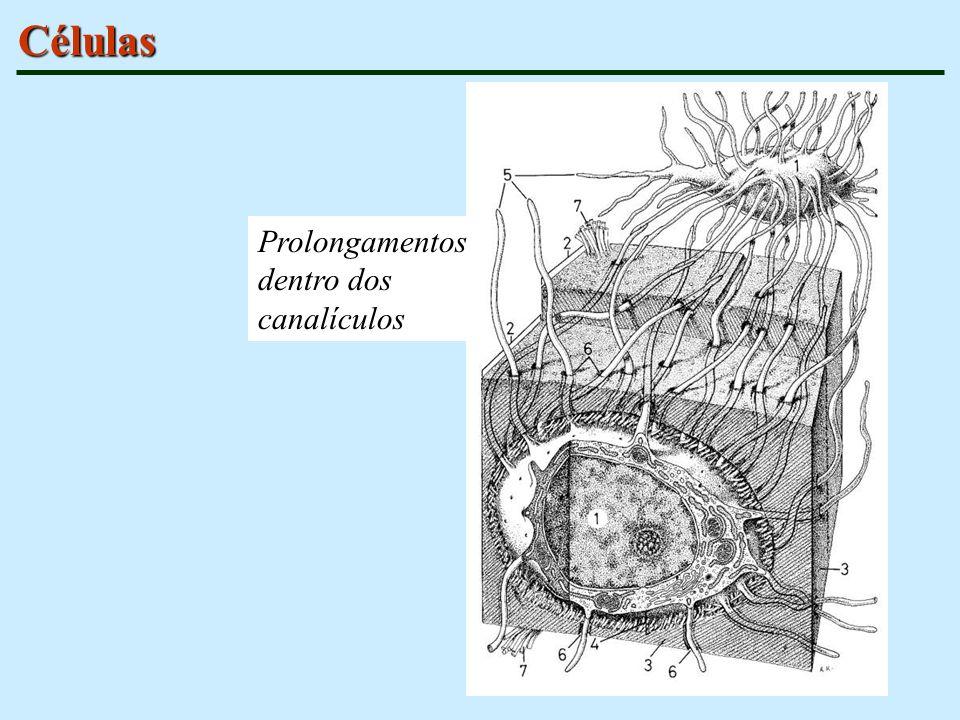Células Prolongamentos dentro dos canalículos