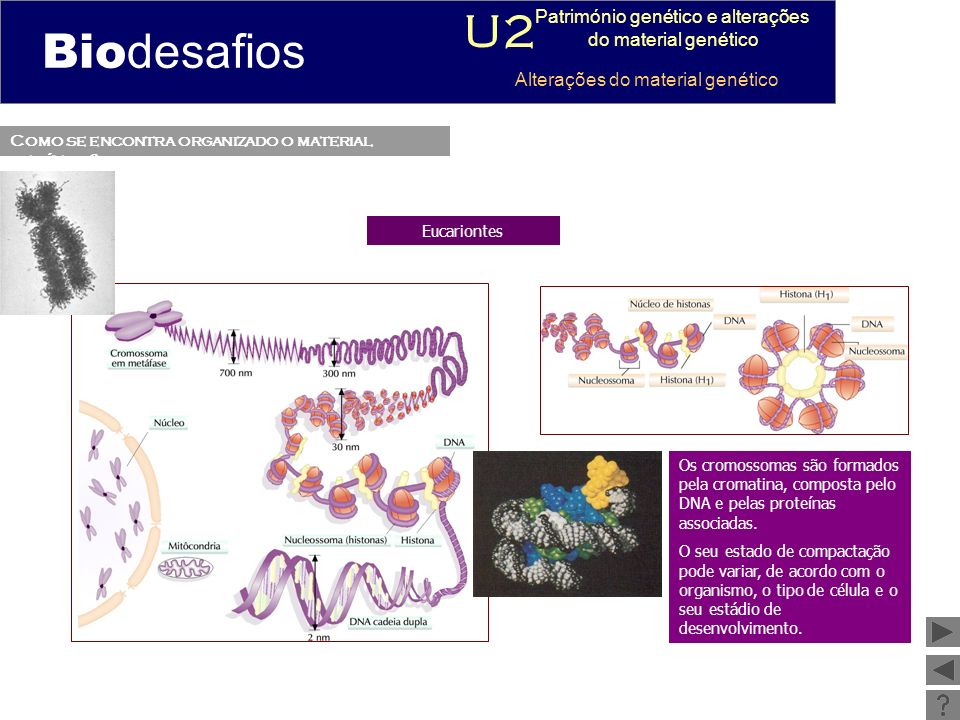 Como se encontra organizado o material genético? Eucariontes Os cromossomas são formados pela cromatina, composta pelo DNA e pelas proteínas associada