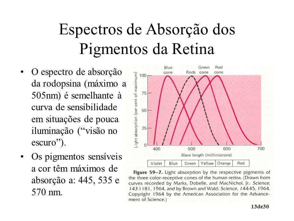 13de30 Espectros de Absorção dos Pigmentos da Retina O espectro de absorção da rodopsina (máximo a 505nm) é semelhante à curva de sensibilidade em sit