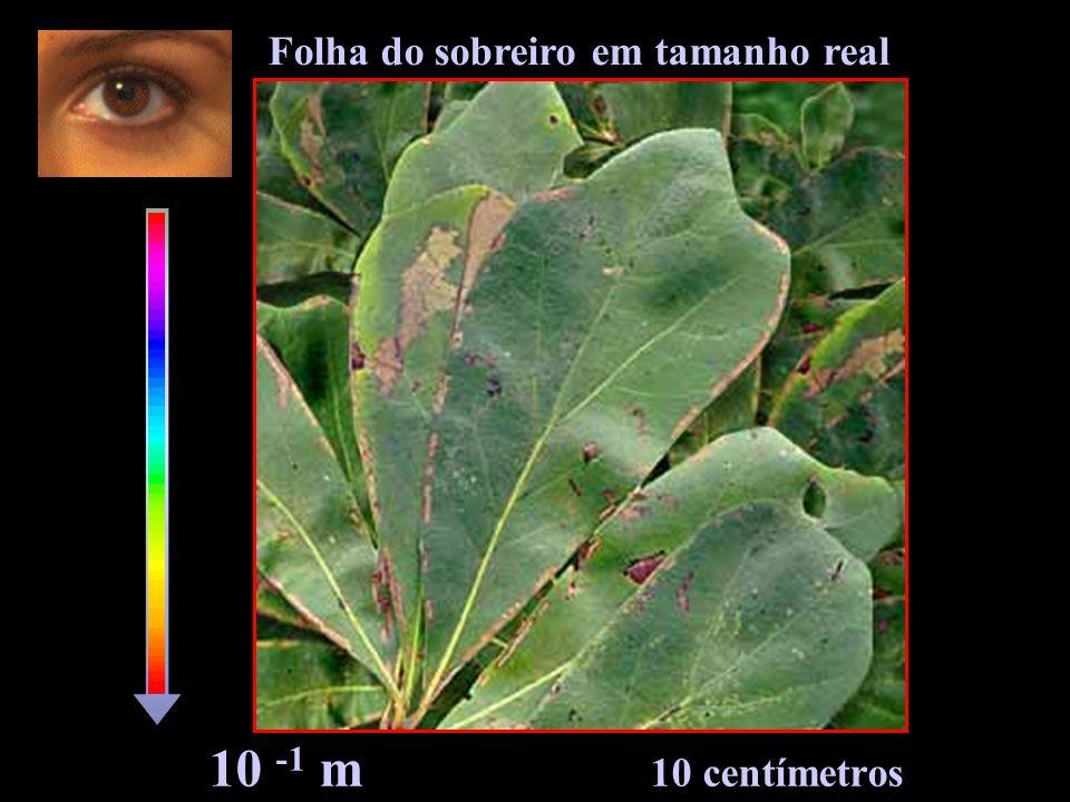 10 -1 m 10 centímetros Folha do sobreiro em tamanho real