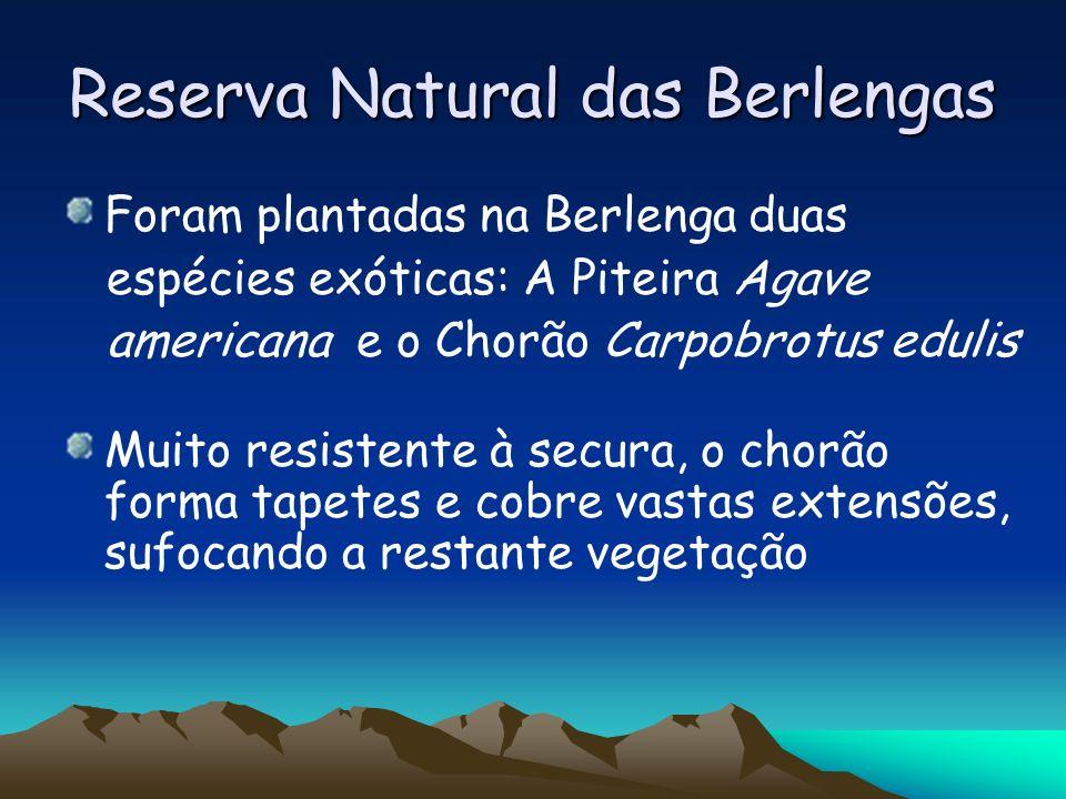 Reserva Natural das Berlengas Foram plantadas na Berlenga duas espécies exóticas: A Piteira Agave americana e o Chorão Carpobrotus edulis Muito resist