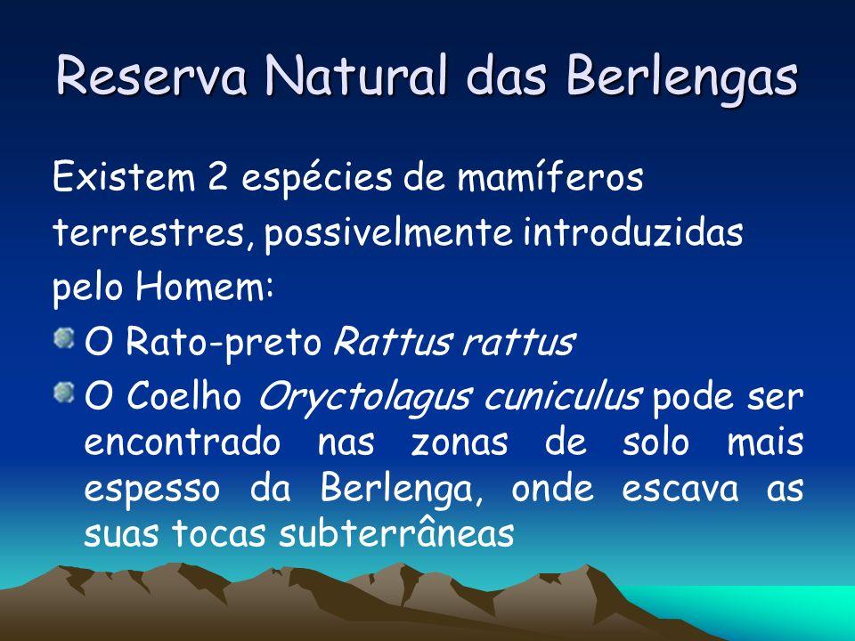 Reserva Natural das Berlengas Existem 2 espécies de mamíferos terrestres, possivelmente introduzidas pelo Homem: O Rato-preto Rattus rattus O Coelho O