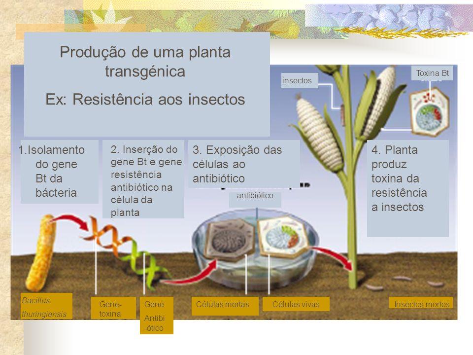 Insectos mortosCélulas vivas Células mortasGene Antibi -ótico Gene- toxina Bacillus thuringiensis Produção de uma planta transgénica Ex: Resistência a