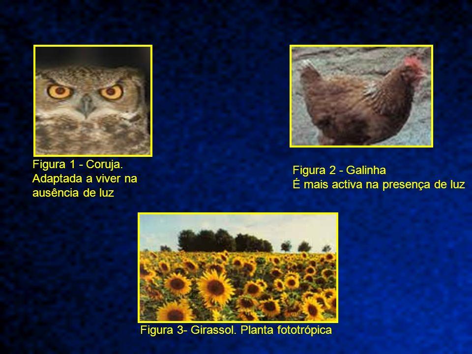 Figura 1 - Coruja. Adaptada a viver na ausência de luz Figura 2 - Galinha É mais activa na presença de luz Figura 3- Girassol. Planta fototrópica