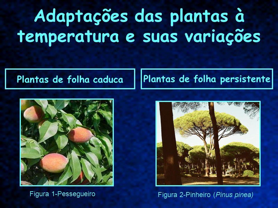 Plantas de folha persistente Plantas de folha caduca Adaptações das plantas à temperatura e suas variações Figura 2-Pinheiro (Pinus pinea) Figura 1-Pe