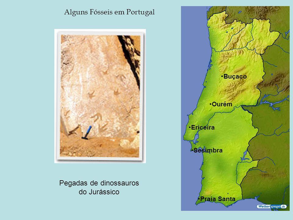 Alguns Fósseis em Portugal Ourém Buçaco Trilobite do Paleozóico Ericeira Sesimbra Pegadas de dinossauros do Jurássico Ouriços do mar do Cretácico Dent