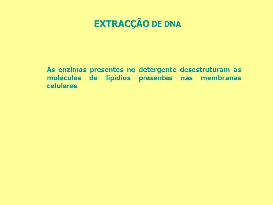 EXTRACÇÃO DE DNA As enzimas presentes no detergente desestruturam as moléculas de lipídios presentes nas membranas celulares