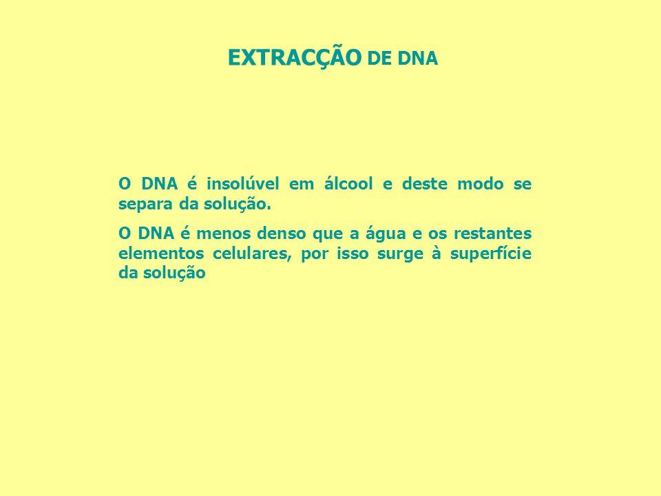 EXTRACÇÃO DE DNA O DNA é insolúvel em álcool e deste modo se separa da solução. O DNA é menos denso que a água e os restantes elementos celulares, por
