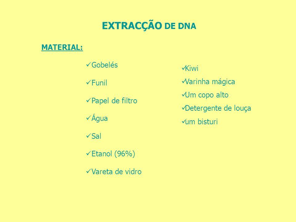 EXTRACÇÃO DE DNA MATERIAL: Gobelés Funil Papel de filtro Água Sal Etanol (96%) Vareta de vidro Kiwi Varinha mágica Um copo alto Detergente de louça um