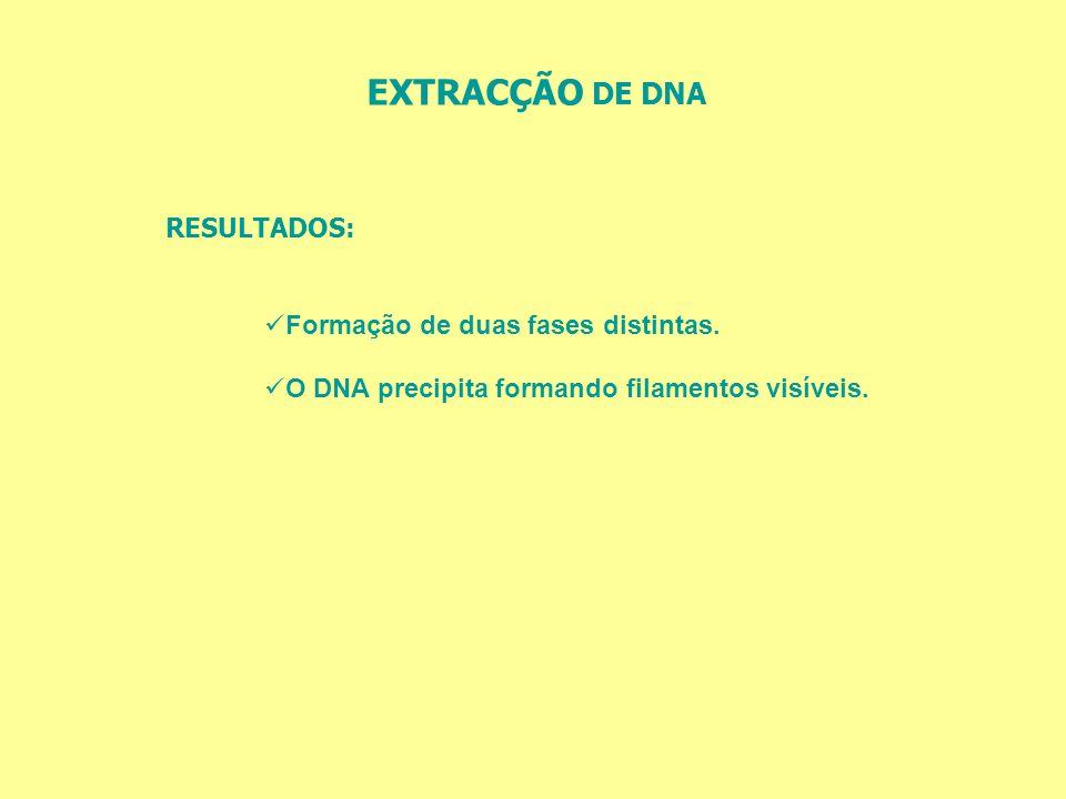EXTRACÇÃO DE DNA RESULTADOS: Formação de duas fases distintas. O DNA precipita formando filamentos visíveis.