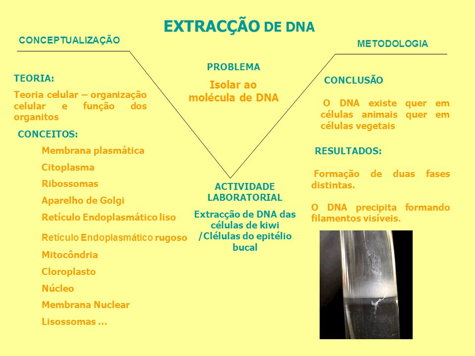 EXTRACÇÃO DE DNA CONCEPTUALIZAÇÃO METODOLOGIA PROBLEMA Isolar ao molécula de DNA TEORIA: Teoria celular – organização celular e função dos organitos C