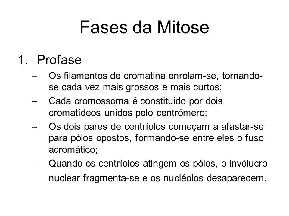 Fases da Mitose 2.