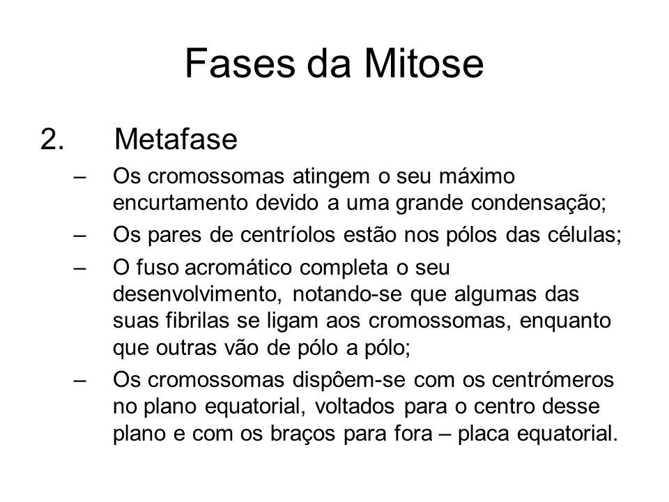 Fases da Mitose 2. Metafase –Os cromossomas atingem o seu máximo encurtamento devido a uma grande condensação; –Os pares de centríolos estão nos pólos