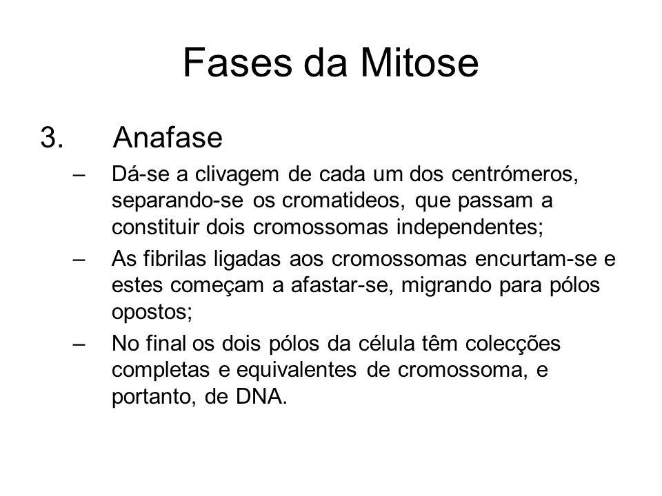 Fases da Mitose 3. Anafase –Dá-se a clivagem de cada um dos centrómeros, separando-se os cromatideos, que passam a constituir dois cromossomas indepen