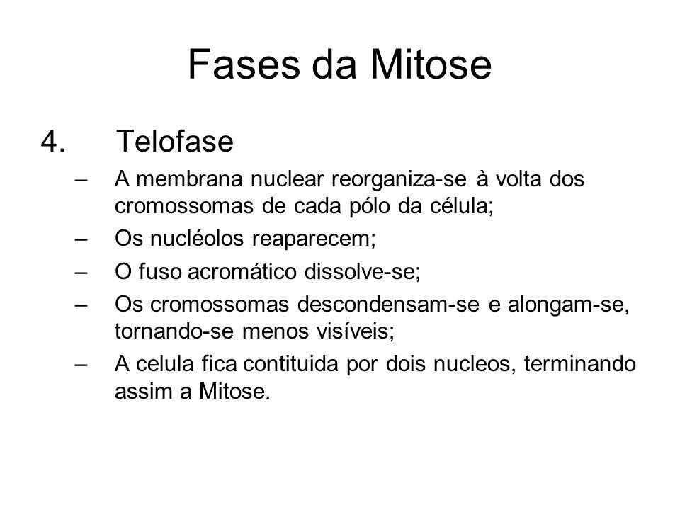 Fases da Mitose 4. Telofase –A membrana nuclear reorganiza-se à volta dos cromossomas de cada pólo da célula; –Os nucléolos reaparecem; –O fuso acromá