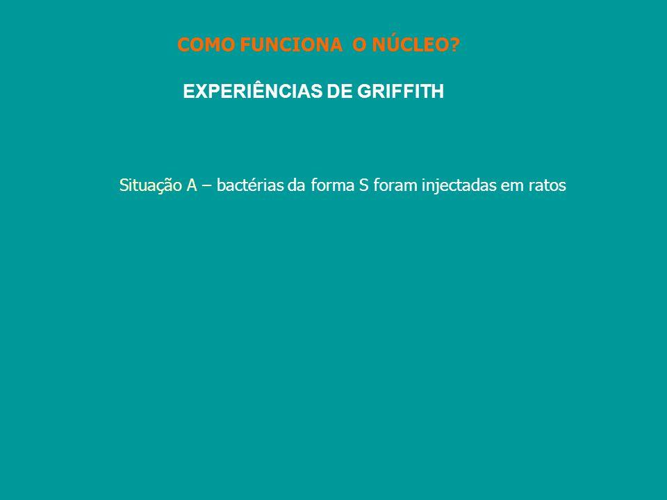 EXPERIÊNCIAS DE GRIFFITH Situação A – bactérias da forma S foram injectadas em ratos COMO FUNCIONA O NÚCLEO?