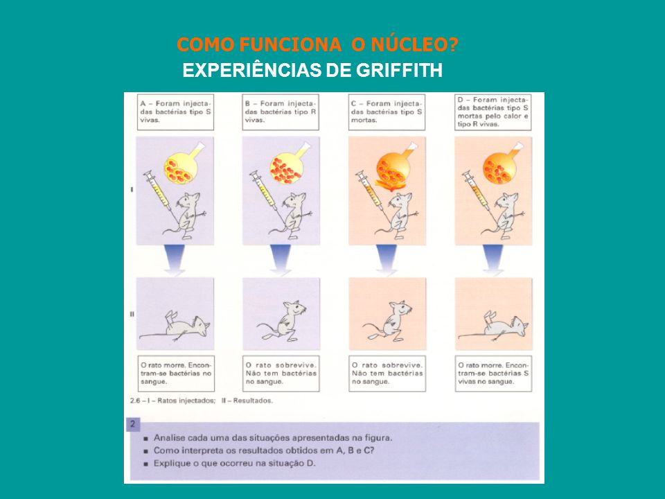 EXPERIÊNCIAS DE GRIFFITH COMO FUNCIONA O NÚCLEO?