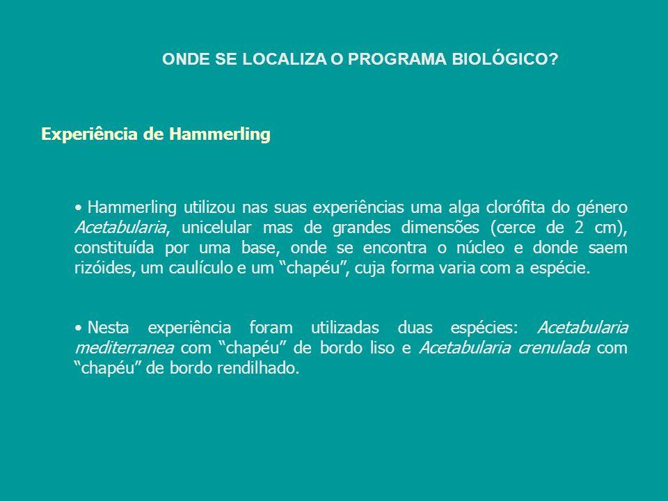 Experiência de Hammerling Hammerling utilizou nas suas experiências uma alga clorófita do género Acetabularia, unicelular mas de grandes dimensões (ce