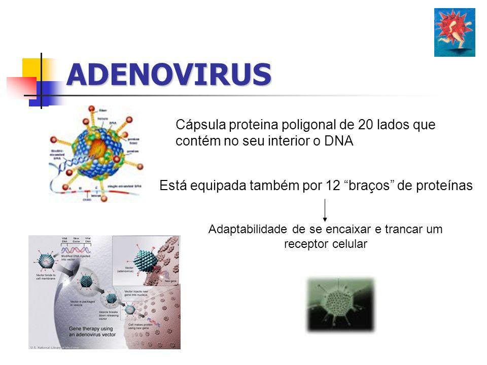 ADENOVIRUS Cápsula proteina poligonal de 20 lados que contém no seu interior o DNA Está equipada também por 12 braços de proteínas Adaptabilidade de s