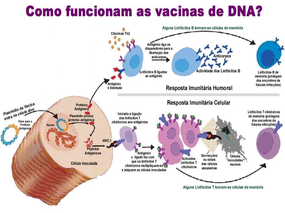 Quanto tempo a imunidade dura em seres humanos.Quanto variam as respostas imunitárias nas pessoas.