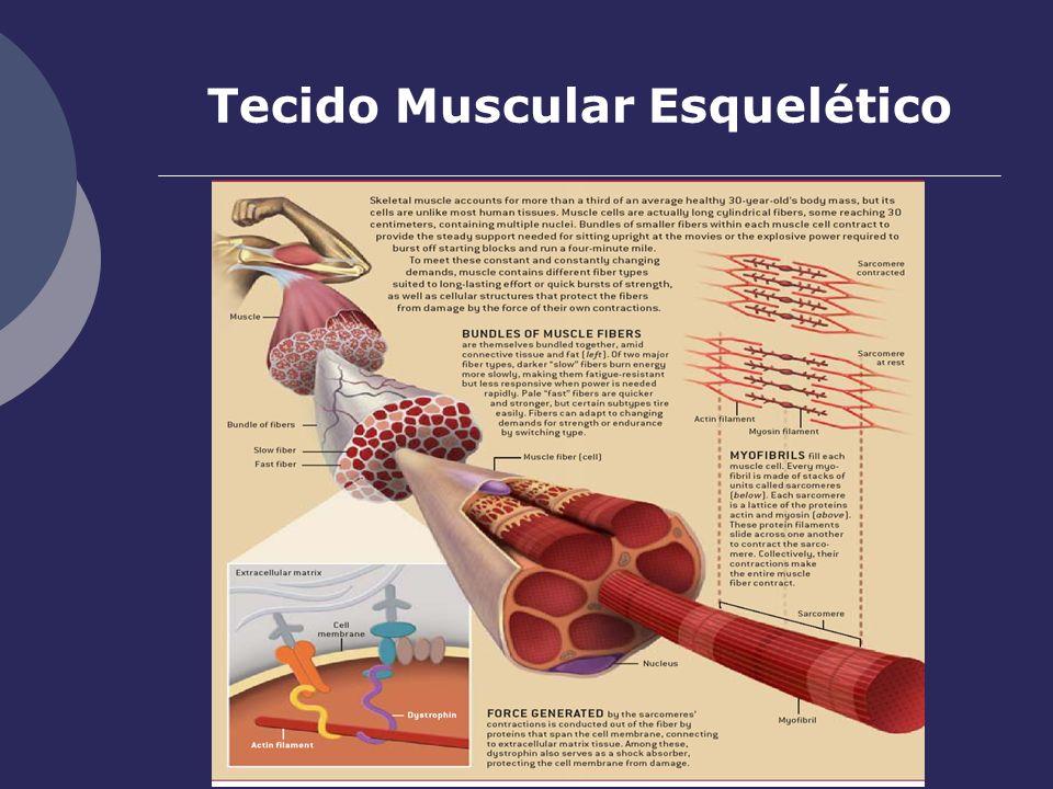 Tecido Muscular Esquelético