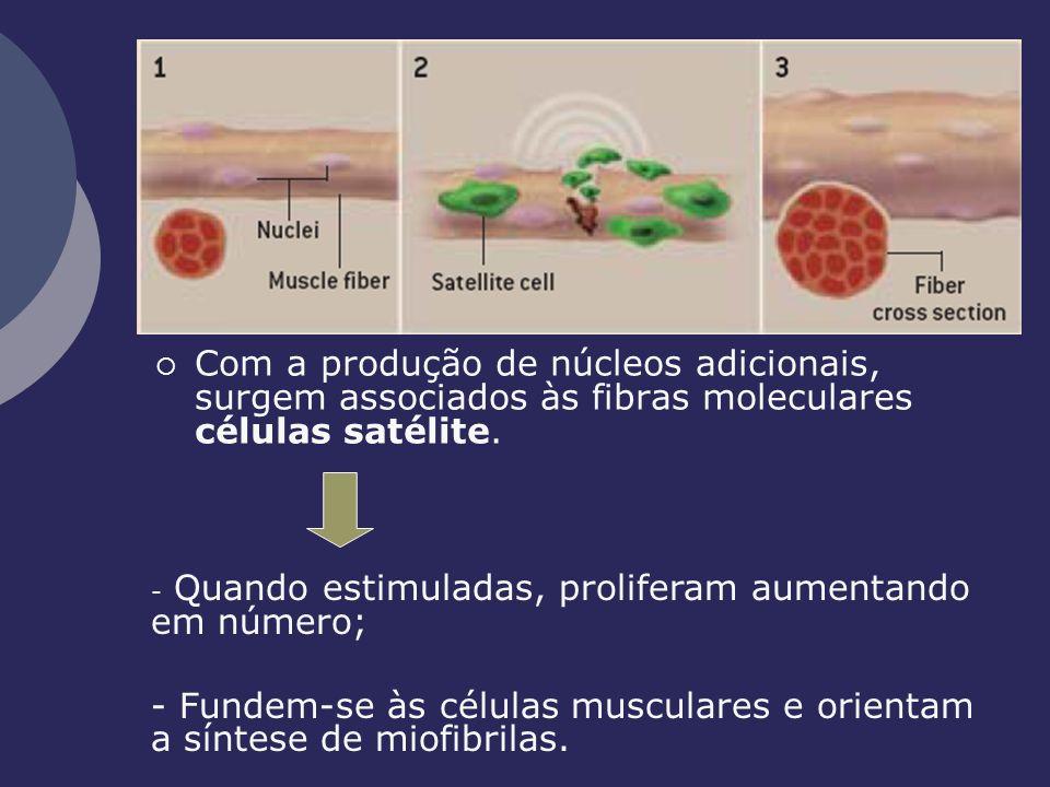 Com a produção de núcleos adicionais, surgem associados às fibras moleculares células satélite. - Quando estimuladas, proliferam aumentando em número;