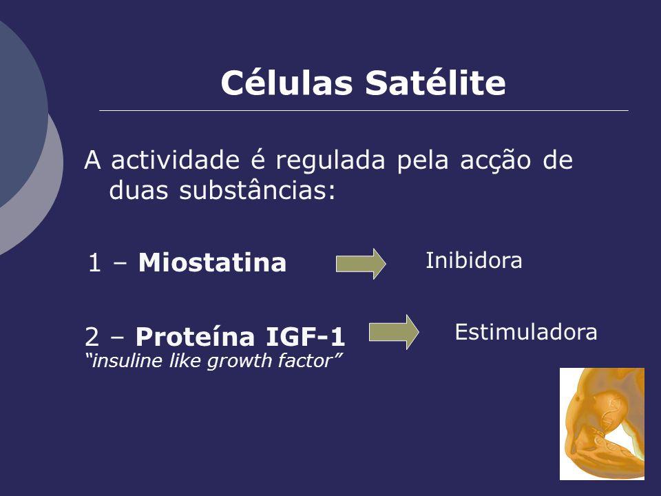 Células Satélite A actividade é regulada pela acção de duas substâncias: Estimuladora Inibidora 2 – Proteína IGF-1 insuline like growth factor 1 – Mio