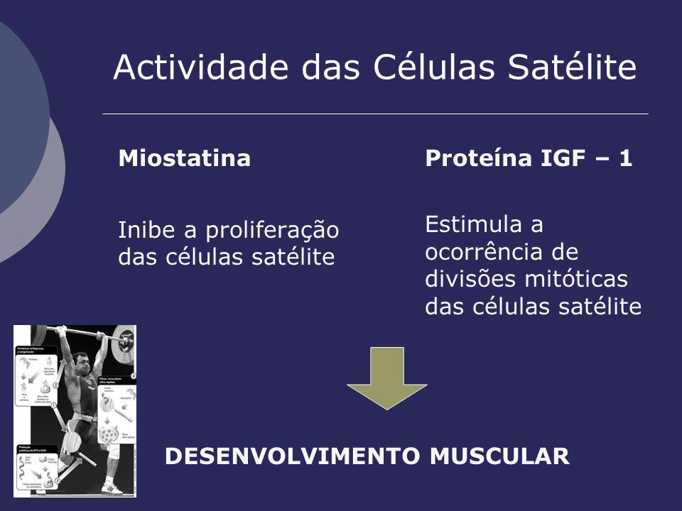 Actividade das Células Satélite Miostatina Inibe a proliferação das células satélite Proteína IGF – 1 Estimula a ocorrência de divisões mitóticas das