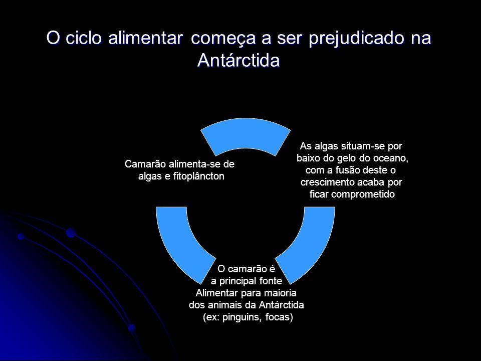 As algas situam-se por baixo do gelo do oceano, com a fusão deste o crescimento acaba por ficar comprometido O camarão é a principal fonte Alimentar para maioria dos animais da Antárctida (ex: pinguins, focas) Camarão alimenta-se de algas e fitoplâncton O ciclo alimentar começa a ser prejudicado na Antárctida
