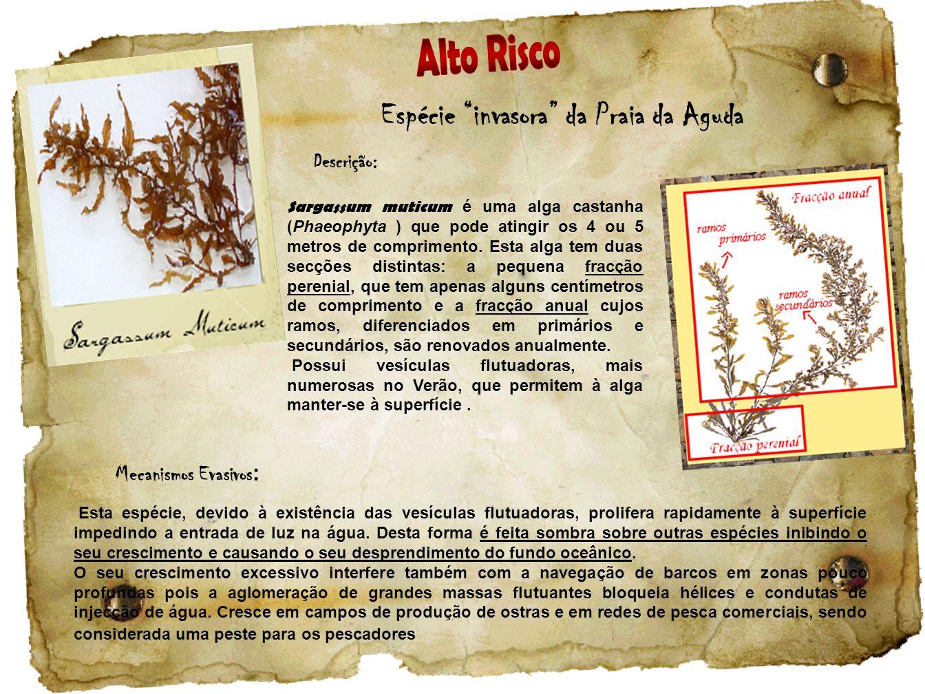 Espécie invasora da Praia da Aguda Descrição: Sargassum muticum é uma alga castanha (Phaeophyta ) que pode atingir os 4 ou 5 metros de comprimento. Es