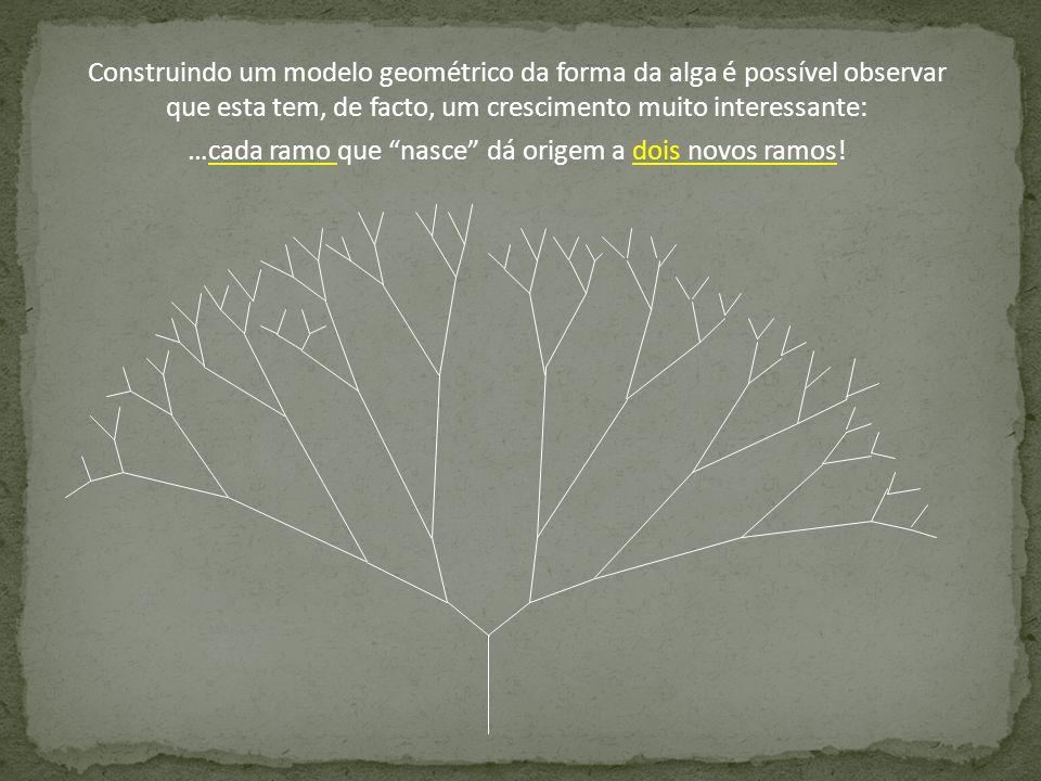 Construindo um modelo geométrico da forma da alga é possível observar que esta tem, de facto, um crescimento muito interessante: …cada ramo que nasce
