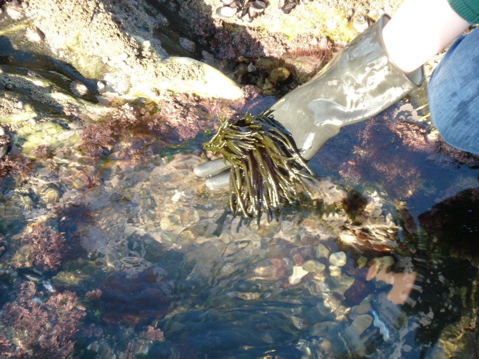 À medida que aumenta o número de gerações, o número de ramos da alga é cada vez maior.