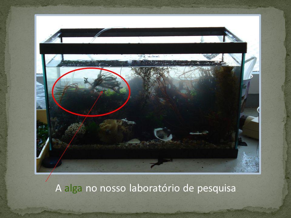 A Codium tomentosum distingue-se das outras espécies pela sua forma característica!