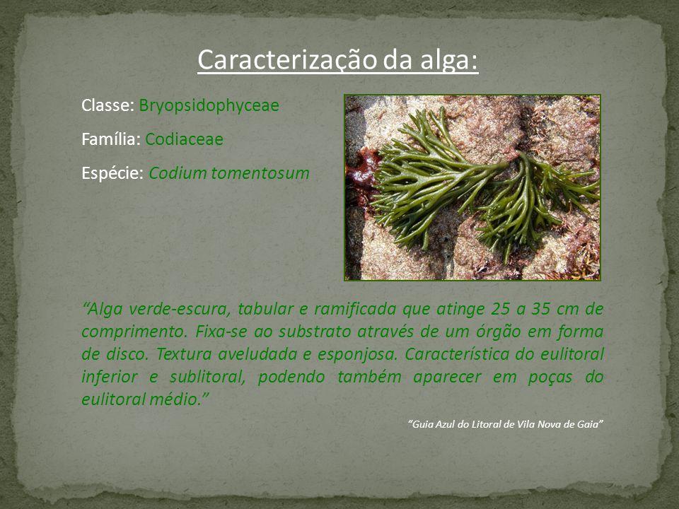 Classe: Bryopsidophyceae Família: Codiaceae Espécie: Codium tomentosum Alga verde-escura, tabular e ramificada que atinge 25 a 35 cm de comprimento. F