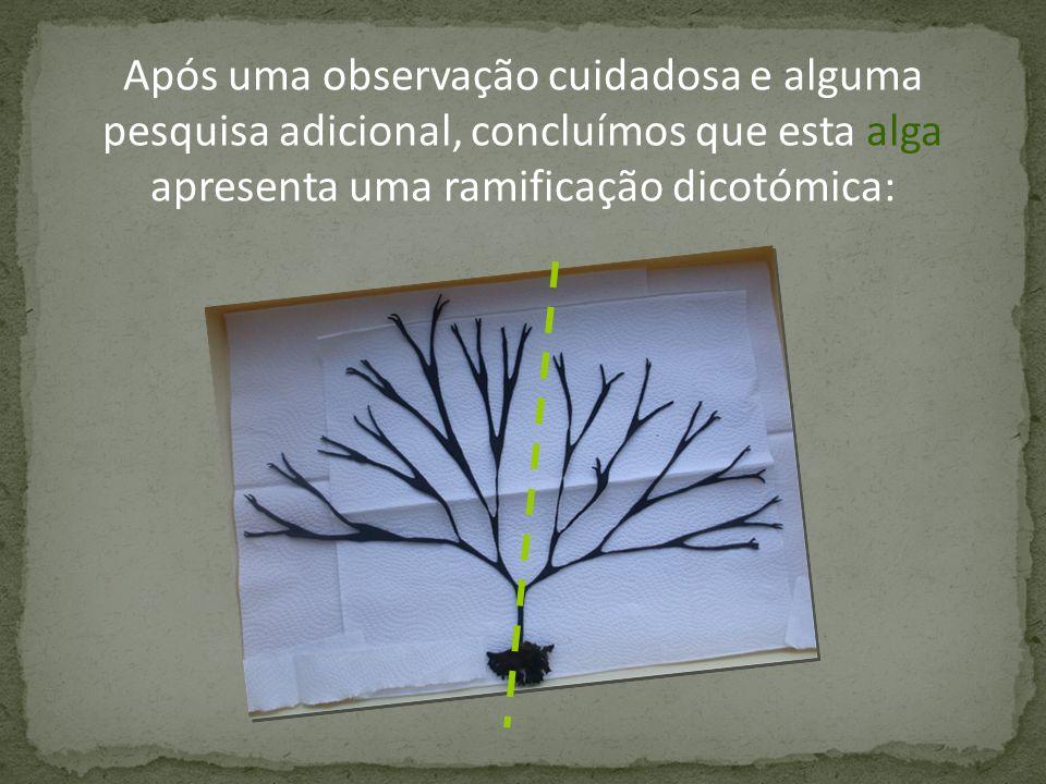 Verificamos também que o crescimento dos seus ramos se revestia de uma perfeição que só podia obedecer a um determinado princípio ou regra… A nossa equipa de estudo das algas ficou determinada em desvendá-la!