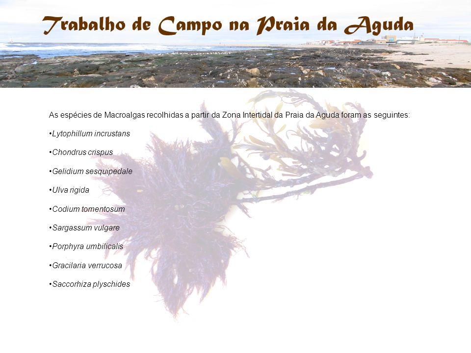 Trabalho de Campo na Praia da Aguda As espécies de Macroalgas recolhidas a partir da Zona Intertidal da Praia da Aguda foram as seguintes: Lytophillum