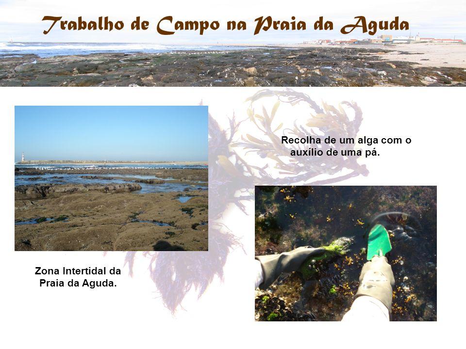 Zona Intertidal da Praia da Aguda. Recolha de um alga com o auxílio de uma pá.