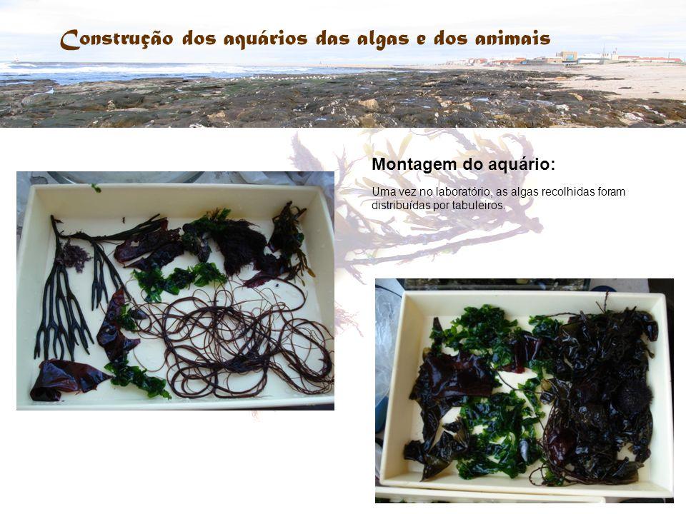 Construção dos aquários das algas e dos animais Montagem do aquário: Uma vez no laboratório, as algas recolhidas foram distribuídas por tabuleiros.