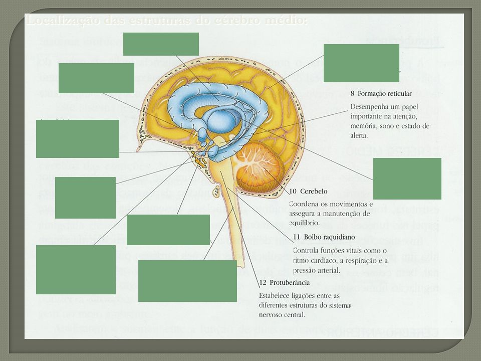 Localização das estruturas do cérebro médio: