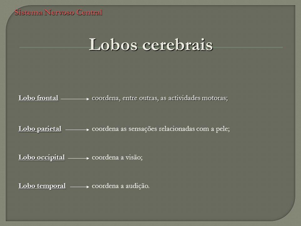 Sistema Nervoso Central Lobos cerebrais coordena, entre outras, as actividades motoras; Lobo frontal Lobo parietal coordena as sensações relacionadas