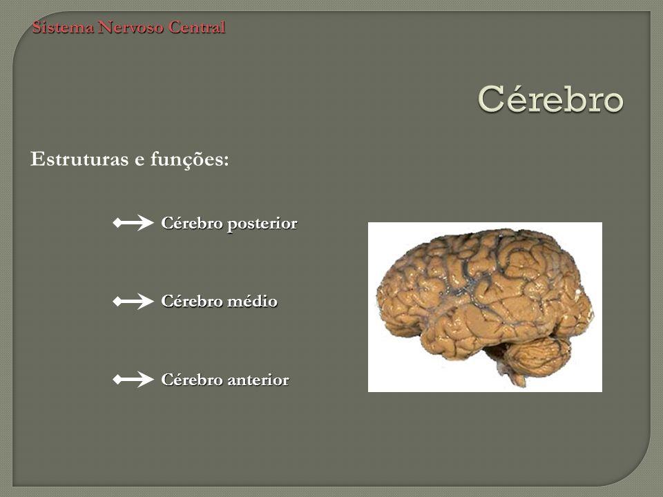 Sistema Nervoso Central Estruturas e funções: Cérebro posterior Cérebro médio Cérebro anterior