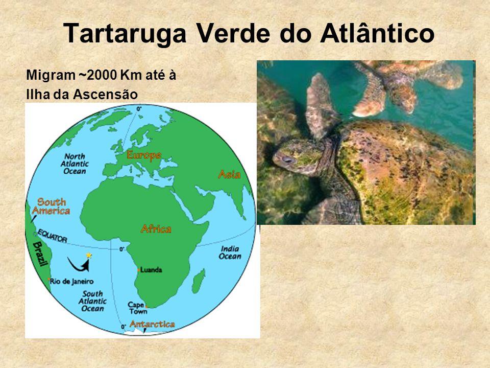 Migram ~2000 Km até à Ilha da Ascensão