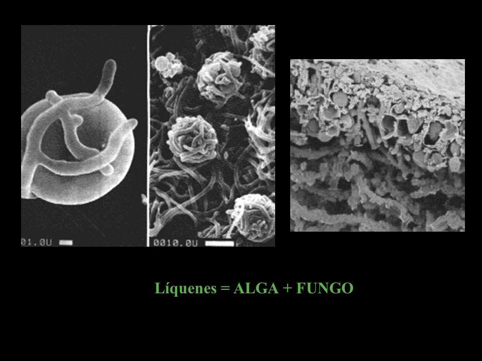 Fungo Alga Os líquenes resultam da associação de uma alga e um fungo: a alga produz o alimento que é utilizado pelo fungo e este fornece água e minera