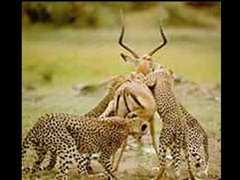 Os parasitas enfraquecem os hospedeiros enquanto que os predadores matam de imediato as suas presas.