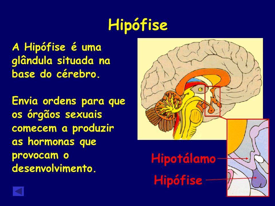 Hipófise A Hipófise é uma glândula situada na base do cérebro. Envia ordens para que os órgãos sexuais comecem a produzir as hormonas que provocam o d